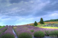 Lavender Hill Farms on the Leelanau peninsula