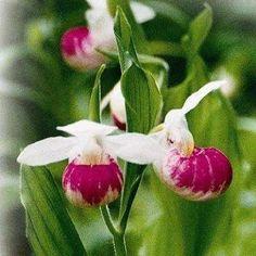 Showy Lady Slipper Cypripedium reginae: Amazon.com: Grocery & Gourmet Food
