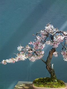 The sakura has always been a symbol of ephemeral beauty in Japan.
