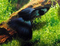 Black Guppy   Guppy Fish