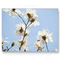 Magnolia Flowers postcards Blue Sky Magnolias Tree
