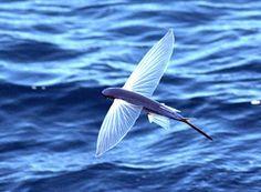 Peixe-voador - Exocoetus volitans (L.)