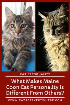 What makes maine coon cat personality is different from others? Maine coon personality is what makes a maine coon distinctive, exceptional, and unique – especially compared to other cat breeds. Best Cat Breeds, Cute Cat Breeds, Maine Coon Kittens, Cats And Kittens, Funny Cat Pictures, Cool Pictures, Why Do Cats Purr, Perfect Photo, Perfect Image