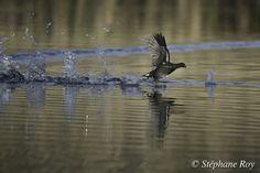 Gallinule Poule-d'eau 1 - Common Moorhen 1 by Stéphane ROY on 500px