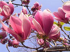モクレン(Lily magnolia)