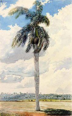Royal Palm, aquarelle de Charles De Wolf Brownell (1822-1909, United States)