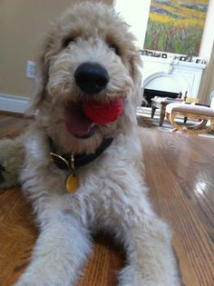 The Red Ball Lovin' Harry Howard the Labradoodle