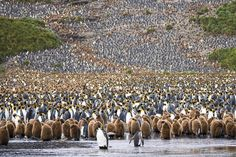 Here, humans are the minority... Photograph by Steffen Flügel - South Georgia in the southern Atlantic Ocean