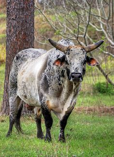 brahma bull - Google Search