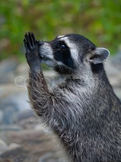 ストックイメージ '側は、動物は非常に危険なことが祈りを物乞いアライグマのマクロ肖像画ポーズリトル野良犬、キュートでかわいい動物に直面しています」