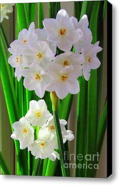 Narcissus Canvas Print / Canvas Art - Artist Elizabeth Dow Fine Art America,http://www.amazon.com/dp/B00H3CSU4Q/ref=cm_sw_r_pi_dp_SD4Ftb1F4TVDN5HJ