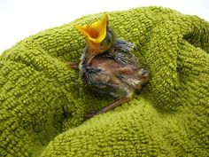 #Wildlife – Have you recently found a young bird? Baby birds are often found on the ground during the first few days of leaving the nest. During this time when they are learning to use their wings, many well-meaning people think these birds are in trouble and rescue them. The best thing for these birds is for them to be left or reunited with their family. Each species has individual needs and it should be raised by its parents; no person can show a baby bird all the things it needs to know.
