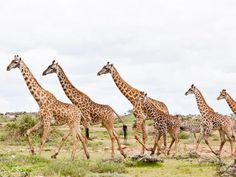 La giraffa nel suo ambiente naturale nei parchi di Ngorongoro, Serengheti, Masai Mara, ecco i Viaggi e Safari di GrandiOrizzonti, http://www.grandiorizzonti.com/it/africa-viaggio-safari/