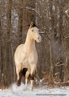River in Snow 2  This is the paint stallion CW River of Gold owned by www.crosswindfarmpaints.com