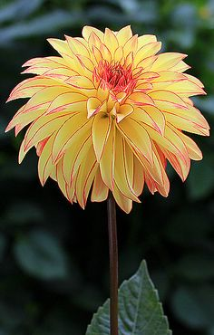 ~~Verrone's Taylor Swift - Stellar Dahlia with blooms, Flame Yellow with Red edges. Great garden flower, stands out in bouquets. Exotic Flowers, Amazing Flowers, My Flower, Flower Power, Beautiful Flowers, Dahlia Flowers, Beautiful Beautiful, Flower Pictures, Trees To Plant