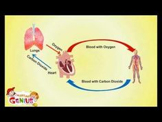 This is one of many educational videos on the site makemegenius.com. I like this site, it is a bit too young and simple for my kids (wish I had seen it a couple of years ago) but it is kinda a fun way to introduce a new lesson. - DLGH Circulatory System -Cardiovascular System- for Kids by www.makemegenius.com