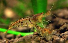 A striped Freshwater Aquarium shrimp named, The Tiger Shrimp.