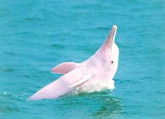 Special fund established in Xiamen for Chinese white dolphin Animals Beautiful, Cute Animals, Majestic Animals, Rare Albino Animals, Pink Dolphin, Jewel Of The Seas, Wale, Sea Fish, Underwater Photography