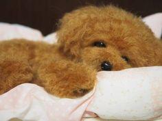 羊毛フェルト 犬 トイプードル 眠くてお目目が閉じそう♪ | 羊毛フェルト コレクション