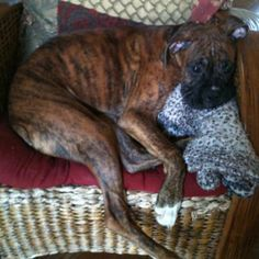 My brindle Boxer...