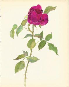 Stunning VINTAGE ROSE ILLUSTRATION Pink Rose Antique 1965 Botanical Print Flower Wall Art Cottage Home Decor (Rose 18)