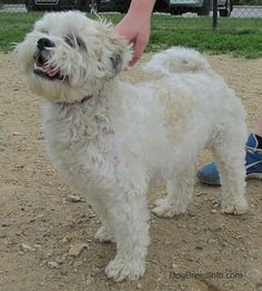 Zuchon (Shichon) Dog Breed Information and Pictures