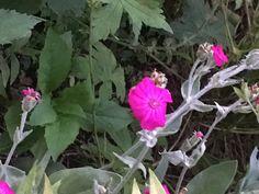 Lychnis coronaria (rose campion) - cottage garden, left section back, next to Geranium 'Patricia' Rose Campion, Garden Pictures, Geraniums, June, Cottage, Plants, Cottages, Cabin