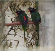 rajah black lory, chalcopsitta atra insignis photo from ...