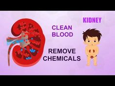 Learn about Human Body Parts For Kids -  KIDNEY