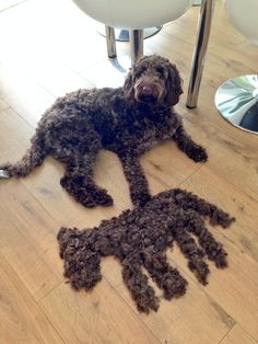 Just trimmed my doodle & made a mini labradoodle out of the fur! I could do this every time!