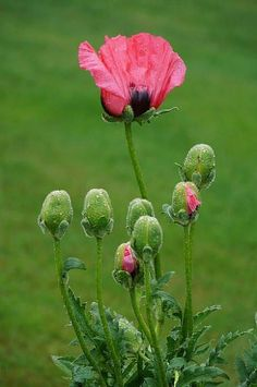 Papaver I think, mother and children                              …