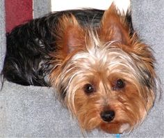 What a cute Silky terrier! Silkies are often mistaken for Yorkies.