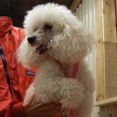 TX 02/14/14 Boots is a 7 year old, 7 pound toy poodle with a nice disposition and a beautiful coat. He's a great-looking boy. Boots w...