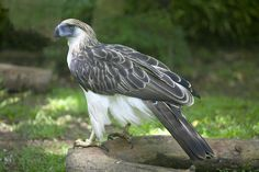 3 Philippine Eagle HD Wallpapers | Backgrounds - Wallpaper Abyss