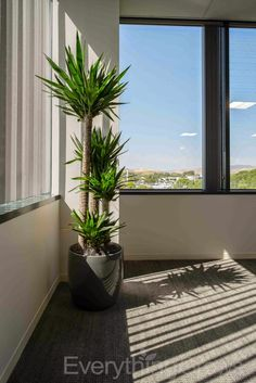 Everything Grows: Beautiful New Indoor Plant Installation in the office with lots of light. This Yucca can can take the heat! Yucca Plant Indoor, Tall Indoor Plants, Indoor Palms, Indoor Trees, Indoor Planters, Indoor Garden, Balcony Plants, House Plants Decor, Plant Decor