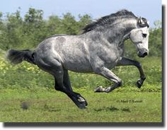 Grey Andalusian   Officially known as purebred spanish horse