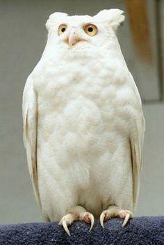 Albino Horned Owl