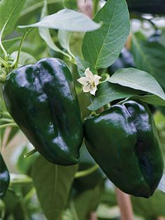 Pepper, Hot Giant Ancho (Poblano) - Peppers at Cooksgarden.com