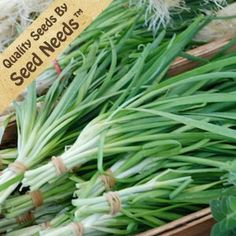 "250 Seeds, Garlic Chives (Allium tuberosum) Seeds By Seed Needs by Seed Needs: Herbs. $1.85. Quality Chives seeds packaged by Seed Needs. Prefers an area of full sunlight to partial shade. Perennial plants that return yearly if the roots are kept in tact. Grows to a mature height of 12 inches tall. Easy planting instructions along with a colorful picture printed on each ""Seed Needs"" packet!. If you like the herb chives, you'll have to try garlic chives! The sa..."