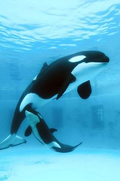 Lovey, age with newborn Earth Big Whale, Cute Whales, Pet Rats, Pets, Rare Animals, Strange Animals, Fishing Pictures, Killer Whales, Sea World