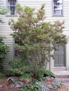 Enkianthus campanulatis - Large deciduous shrub against fence - back yard