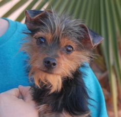"""Paladin is a tiny, 6-pound lovebug eager for a loving, forever home.  He is a Yorkshire Terrier mix junior puppy, 10 months of age, now neutered and debuting for adoption today at Nevada SPCA (www.nevadaspca.org).  Paladin is compatible with cats and dogs and reportedly """"almost"""" housetrained.  Please budget sufficiently for regular professional grooming.  Paladin's owner surrendered him because he said he was not home enough to care for him properly."""