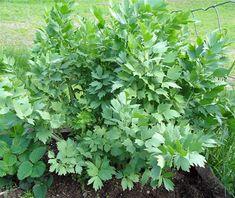 Urter i hagen - www.ovredalenshjemmeside.com Herbs, Plants, Herb, Plant, Planets, Medicinal Plants