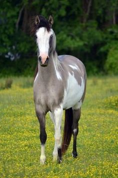 This horse is a paint/pinto (once again pretty much meaning the same thing). Notice the facial markings, you could almost call it a bald face, but in this case you would call it skewbald or piebald. The color, besides being a paint, is a dun. The variation of dun is called a smokey dun.