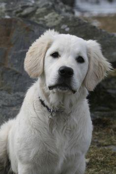 This gorgeous Golder Retriever Puppy is Summer.