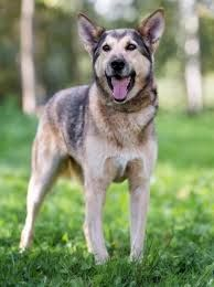 The most loyal family dog is Shepherd husky mix the second prevalent breed on the planet at this moment. Miniature Husky, Husky Mix, Meat Chickens, Family Dogs, Dog Owners, Puppies, Pets, Animals, Cubs