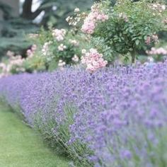 Lavender: Create a thick hedge by making your ridge 24 inches wide and set lavender plants in two rows 12 inches apart. Instead of planting in parallel rows, stagger plants so plants of one row are halfway between plants of the other row. Lavender needs good air circulation to prevent disease. Keep your hedge weed free and avoid locating your hedge too close to other plantings.