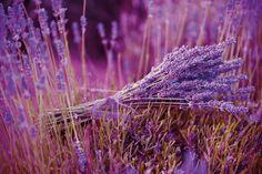Lavendel in den Farben der Provence #lavendel #provence #pflanzenfreude #lavender