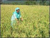 SRI farmer in Uttarakhand, India and her gorgeous field of rice.  More crop per drop.