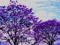 ipês floridos - Bing images